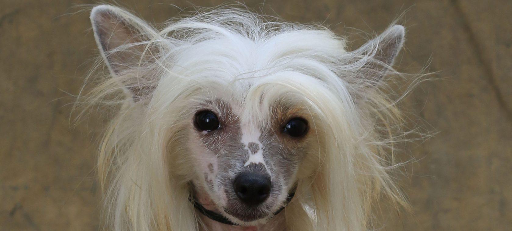 Cães selecionados para cinoterapia, companhia e exposição de beleza.